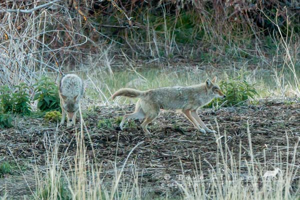 Territorial mated coyote pair marking their ground